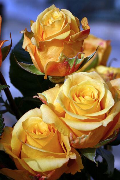 Golden Honey Roses #2_Chicago, Illinois