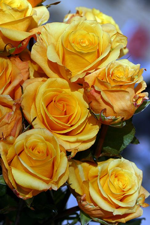 Golden Honey Roses – No.1_Chicago, Illinois