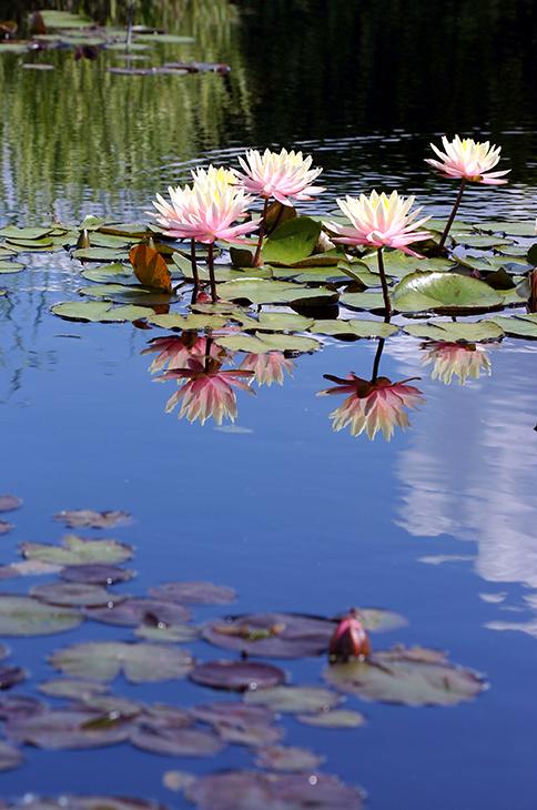 Hardy WaterLily 'Fabiola'_The New York Botanical Garden