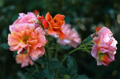 Disneyland Roses I - Santa Fe, New Mexico