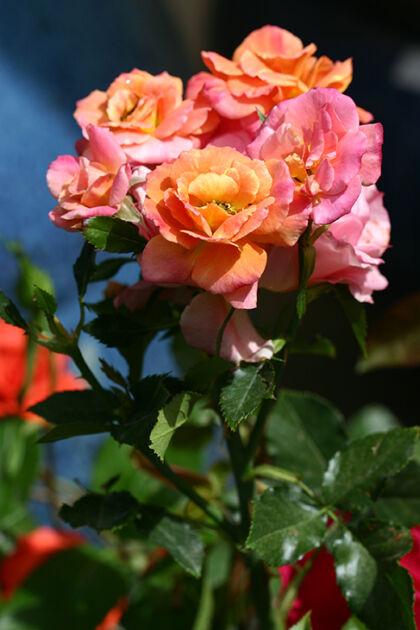 Disneyland Roses III - Santa Fe, New Mexico