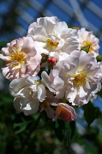 Tussie Mussie Roses - The Cranford Rose Garden, Brooklyn, New York