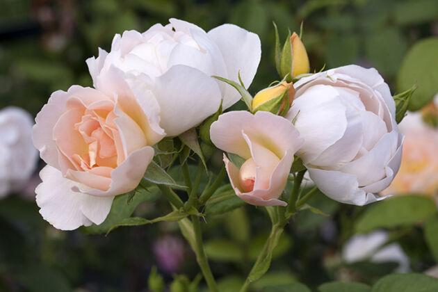 'Comtes de Champagne'-The New York Botanical Garden