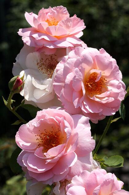 Eden's Rosy Bounty-Rockefeller Rose Gardens, New York City