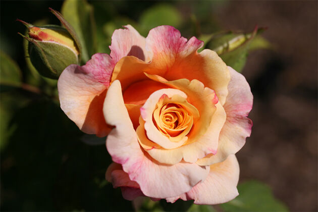 "Rosa ""Caramel Fairy Tale""-New York Botanical Garden"