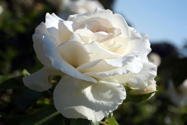 "Floribunda Rose ""Kosmos""-The New York Botanical Garden"