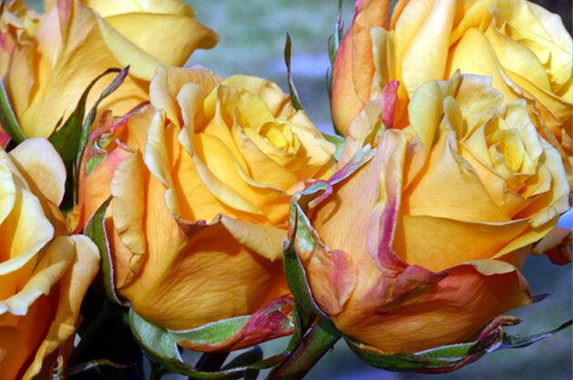 Kaleidoscope of Roses_Chicago, Illinois