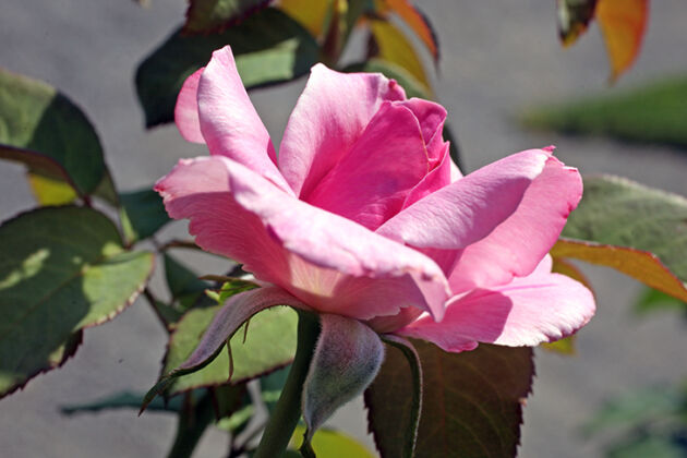 'Rose Royce'-The New York Botanical Garden