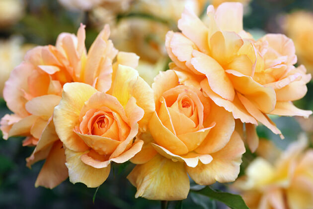 Golden Honey Roses – No.1_Chicago, Illinois