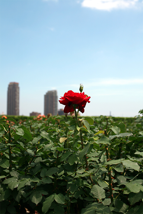 Optimistic Emperor_United Nations Rose Gardens, New York City