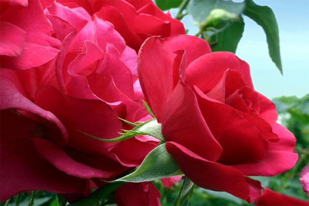 'Sojourner'_United Nations Rose Gardens, New York City