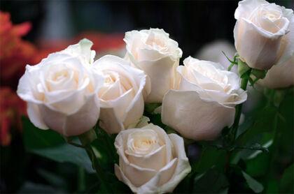 'White Rose Cotillion'-New York City