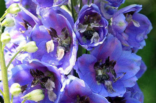 'Morning Blue II'-The New York Botanical Garden