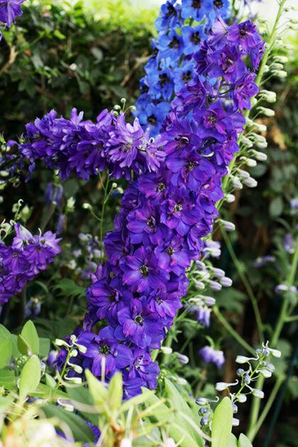 Delphinium 'Lancelot'-The New York Botanical Garden