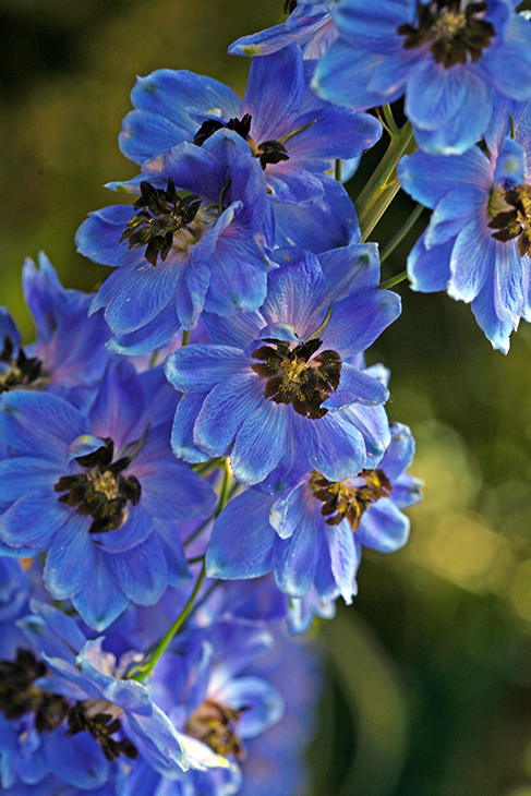 Delphinium 'Blue Ray'-The New York Botanical Garden