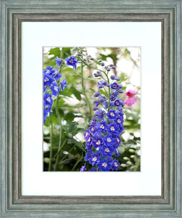 Delphinium 'Blue Bird Group'_The New York Botanical Garden