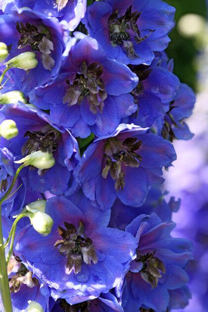 Peek-a-Blue Delphinium-The New York Botanical Garden