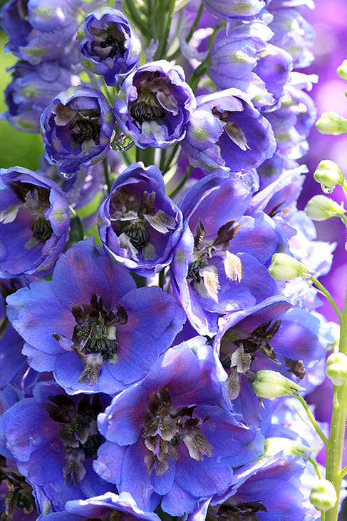 Delphinium 'Black Eyed Angels II' - Newport, Massachusetts