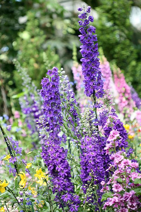 Delphinium 'Peacock'-The New York Botanical Garden