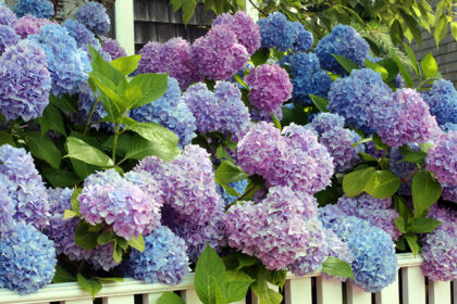 Chorus in Raspberry Blue_Nantucket, Massachusetts