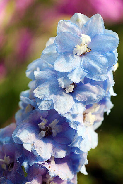 Delphinium 'Blue Lace'-Nantucket, Massachusetts