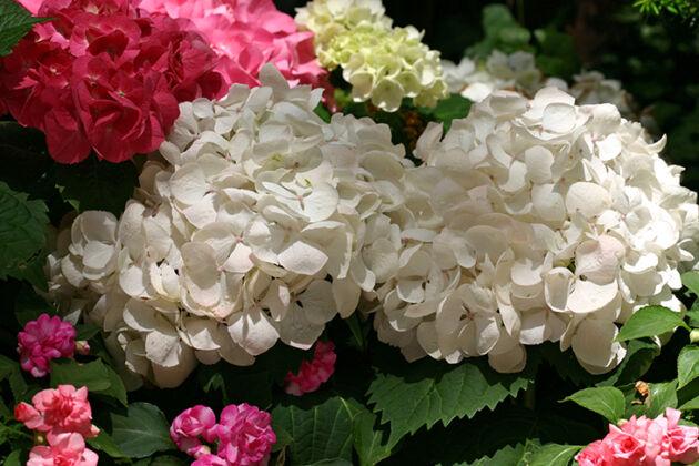 Snowball Hydrangea-New York CIty