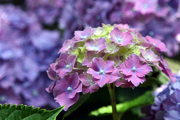 Hydrangea Sorbet II_Nantucket, Massachusetts