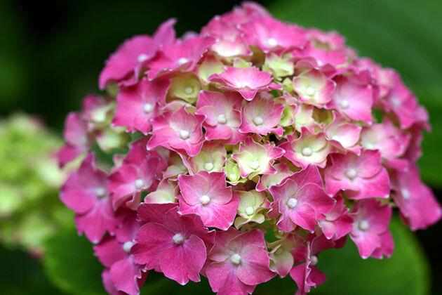 Hydrangea 'Cherry Cream Swirl'-Nantucket, Massachusetts