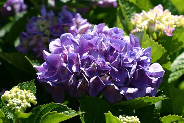 Hydrangea in the Hood-Nantucket, Massachusetts