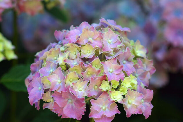 Hydrangea 'Lucky Charms' No.2- Nantucket, Massachusetts