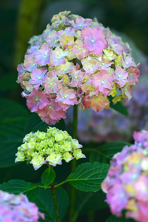 Hydrangea 'Lucky Charms' - Nantucket, Massachusetts