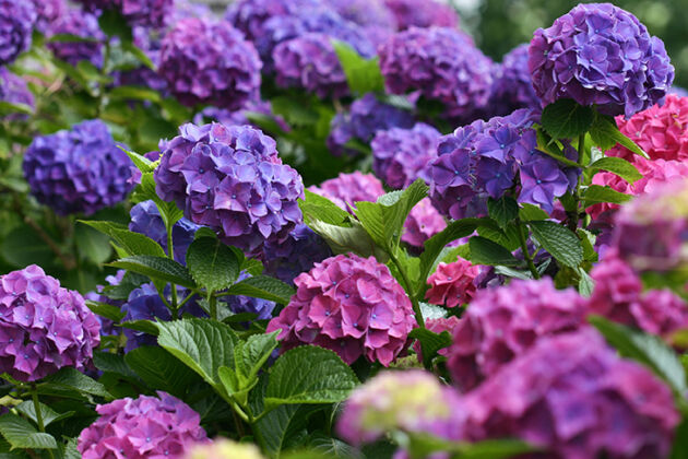 Hydrangea 'Color Fantasy'-Nantucket, Massachusetts