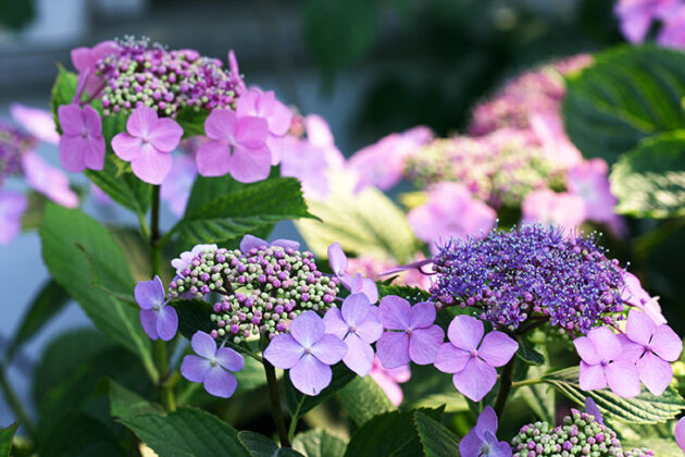 Hydrangea-'Tea of Heaven' - Nantucket, Massachusetts