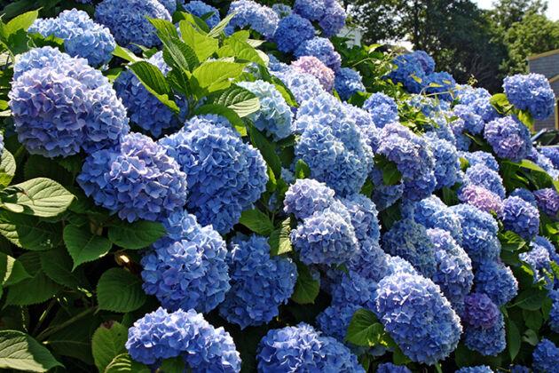 Hydrangea Blue_Nantucket, Massachusetts
