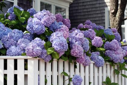 Home Sweet Hydrangea - Nantucket, Massachusetts