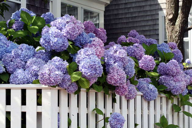 Home Sweet Hydrangea - Nantucket, Massachusetts