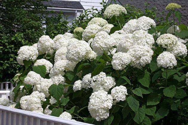 Hi Hello Home Hydrangea-Nantucket, Massachusetts