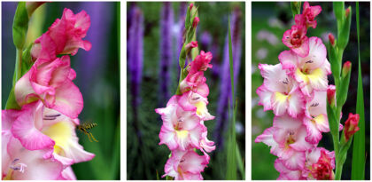 Fiery Gladiolus Finery
