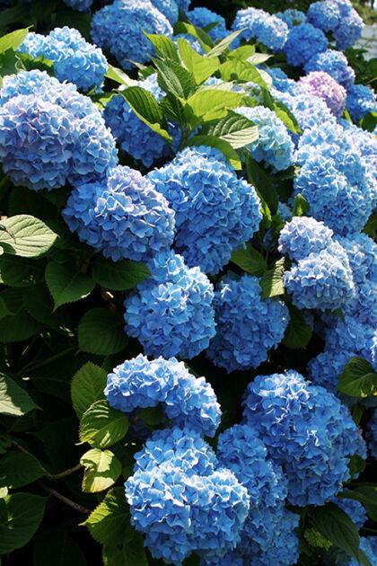 Bonnie Blue Hydrangea_Nantucket, Massachusetts