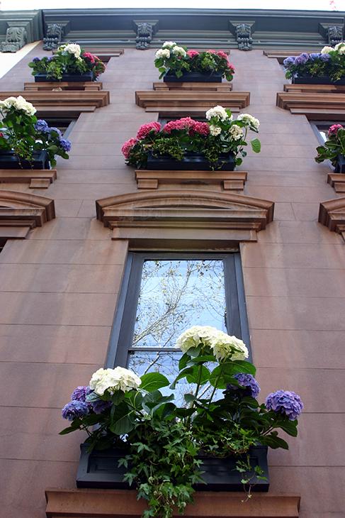 Hydrangea 'Manhattan'-New York City