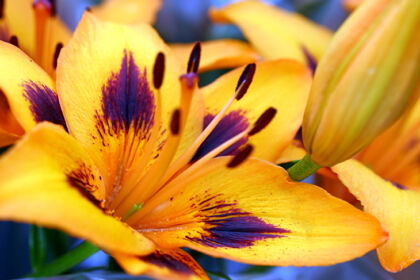 Orange Purple-Splash Lily - Nantucket, Massachusetts