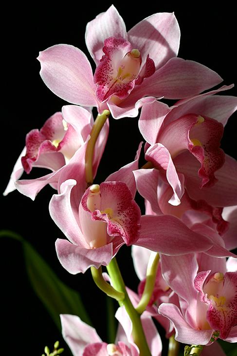 Web-171_7163_Firebird Cymbidium Orchids_Rockefeller Center, New York City