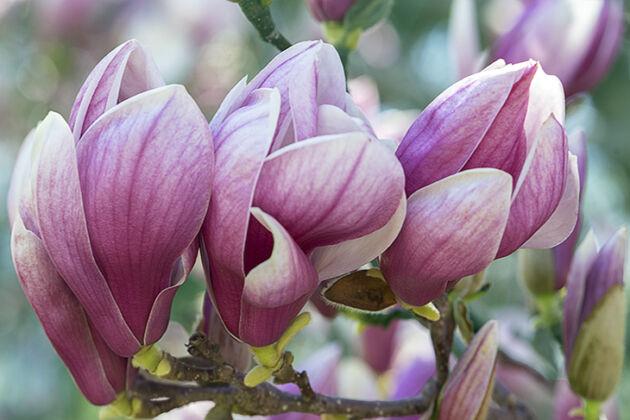 "Web-DSC02687-Magnolia ""Yin"""