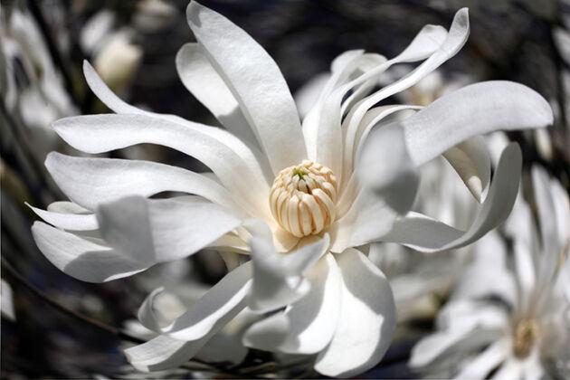 Magnolia 'Zephyr'-New York City