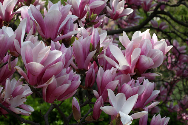 Opulent Magnolia #2-Central Park, New York City