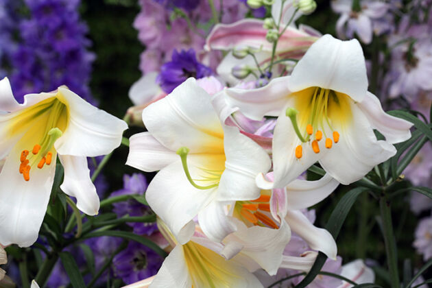 Web-IMG_5381-'Lilium Regale', No.2-The New York Botanical Garden