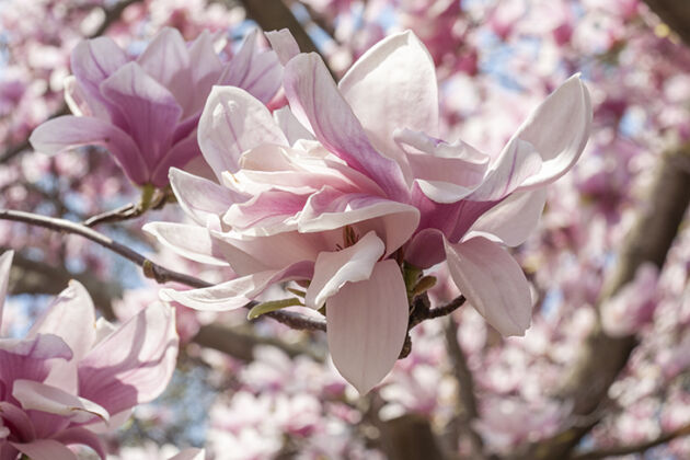 Magnolia 'On Cloud Nine'-Springfield, New Jersey
