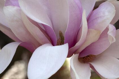 Magnolia 'Candlelight I'-Springfield, New Jersey