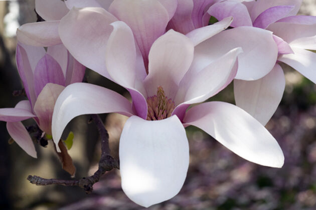 Magnolia 'Candlelight II'