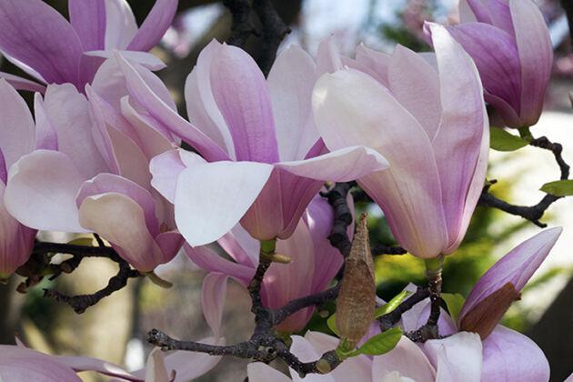 Eternal Magnolia-Springfield, New Jersey